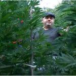 VIDEOSKANDAL/Gazetari Hoxha tregon plantacionet me hashash