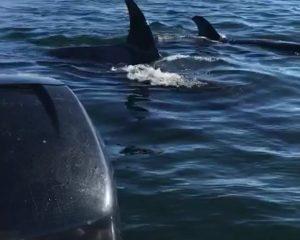 Foka ngjitet në varkë për t'i shpëtuar balenave vrasëse