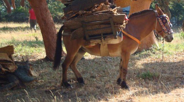 Kapet i riu shqiptar, me mushka nga Shqipëria në Greqi për të prerë dru