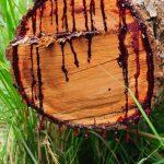 """Njihuni me pemën që pikon """"gjak"""", gjithashtu ka efekte shëruese për njeriun"""