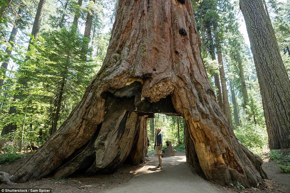 Rrëzohet pema historike