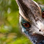 FOTO/ Kazuari i madh, shpendi më i rrezikshëm në botë