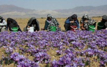 Elbasan/ Monika Kryemadhi: Mos kultivoni kanabis, por mbillni shafran