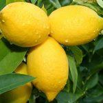 Përdorimet e shumta të limonit