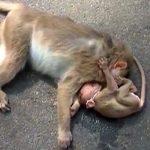 Momenti prekës, majmuni i vogël qan mbi të ëmën që vdiq në rrugë
