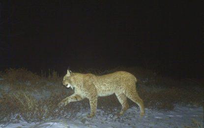 FOTO/ Kamerat në pyjet e Pukës kapin kafshë të rralla dhe momente fantastike