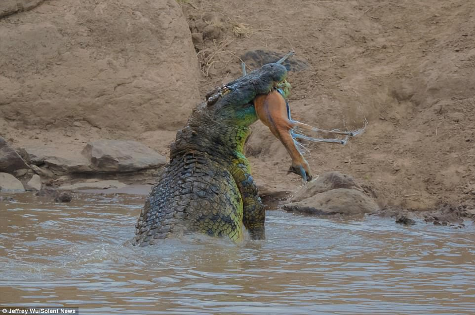 Kujdes! Krokodili gëlltit një gazele
