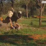 VIDEO/ Turisti sulmohet nga një struc i zemëruar