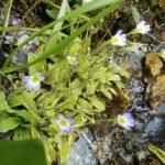 Në Librazhd identifikohet lulja mishngrënëse