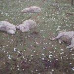 Breshëri që vrau delet dhe tmerroi banorët (VIDEO)