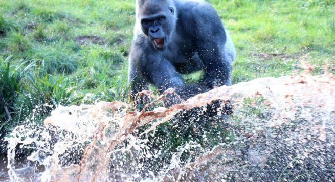 N'dowe Gorilla Tre gorilla arratisen ...
