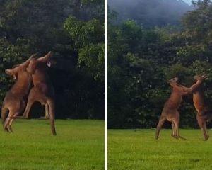 Ndeshje spektakolare boksi midis dy kangurëve