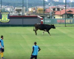 VIDEO/ Ndodh edhe kjo: Lopa ndërpret ndeshjen e futbollit
