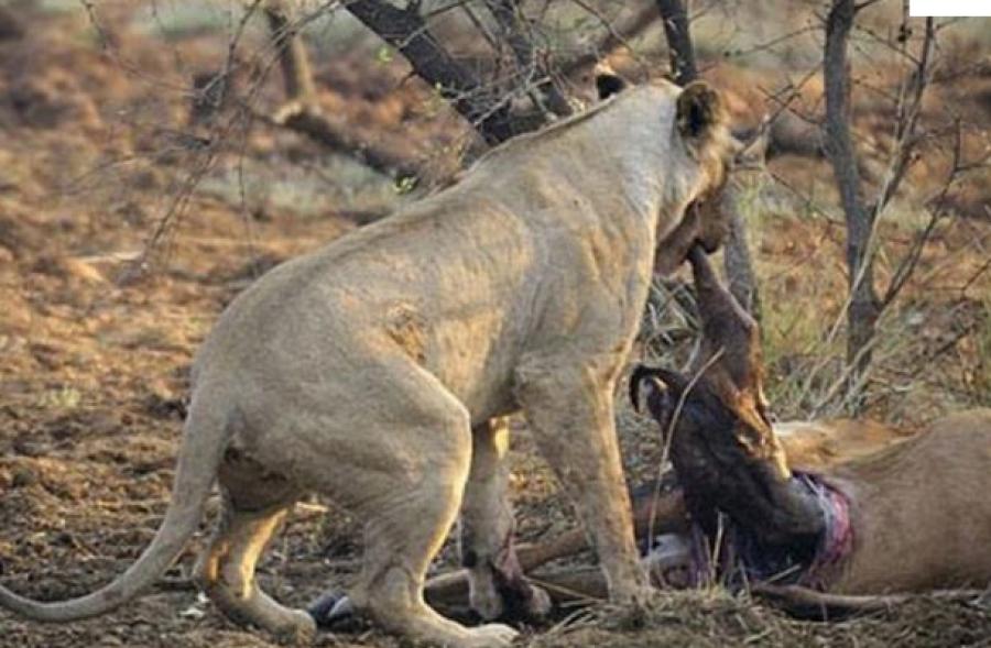 FOTO /Histori prekëse! Shihni çfarë bën luanesha kur kupton se preja e saj është shtatzënë