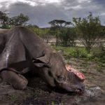 Rinoceronti fiton Foton e Vitit