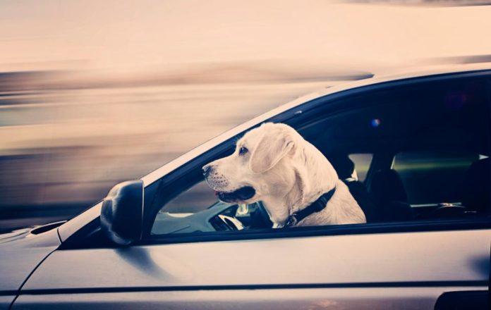 Kujdes kur udhëtoni me kafshë në makinë, do gjobiteni me 5 mijë dollarë